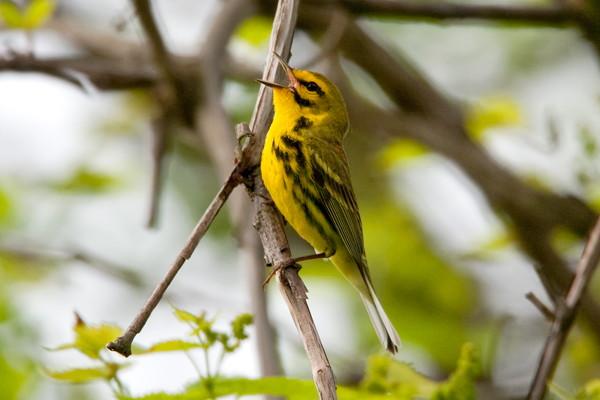 Breeding Bird Song Workshop