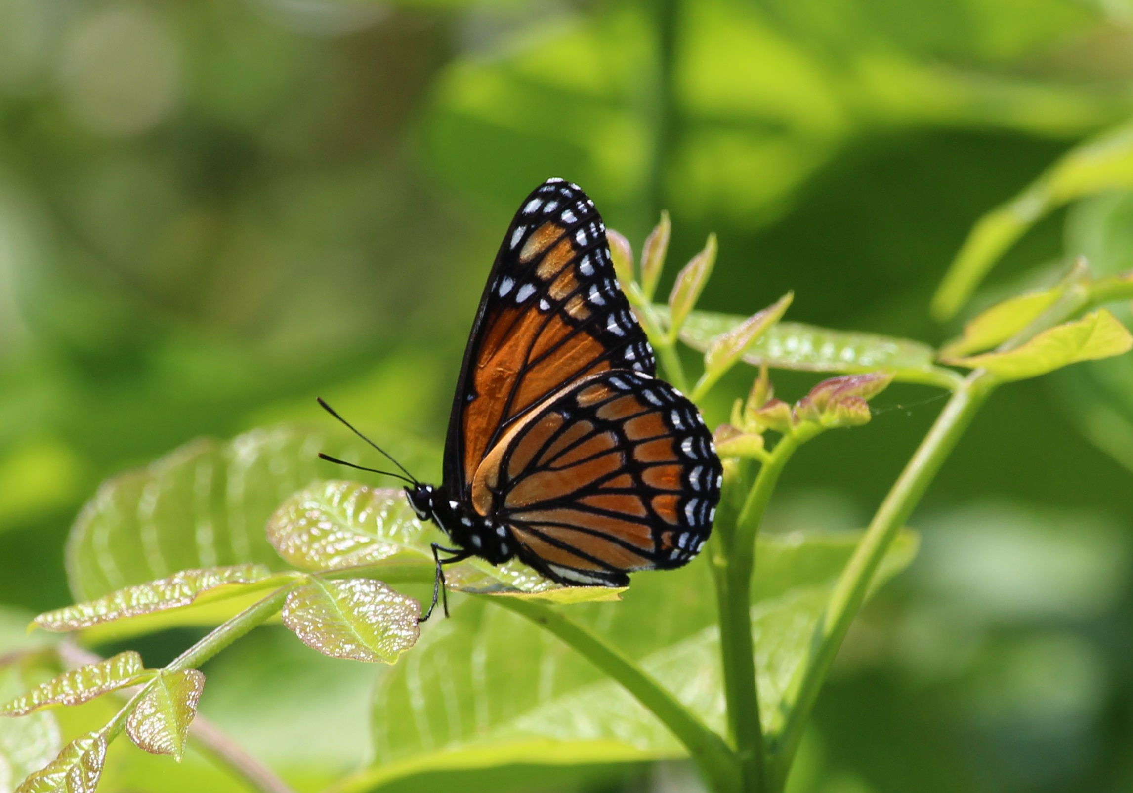 Butterfly Identification Workshop & Walk
